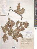 view Annona emarginata (Schltdl.) H. Rainer digital asset number 1