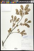 view Grewia cuneifolia Juss. digital asset number 1