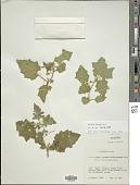 view Solanum viarum Dunal digital asset number 1