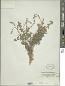 view Heliotropium ophioglossum C.B. Clarke digital asset number 1