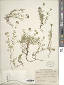 view Asperula hexaphylla All. digital asset number 1