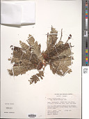 view Acaena cylindristachya Ruiz & Pav. digital asset number 1