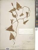 view Calystegia sepium (L.) Aiton digital asset number 1