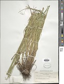 view Carex subbracteata Mack. digital asset number 1