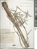 view Cyperus pilosus Vahl digital asset number 1