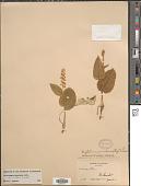 view Maianthemum canadense var. interius Fernald digital asset number 1