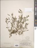 view Corydalis flavula (Raf.) DC. digital asset number 1