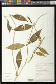 view Aeschynanthus sp. digital asset number 1