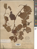 view Passiflora bauhiniifolia Kunth digital asset number 1