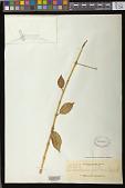 view Trichosporum polillensis digital asset number 1