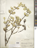 view Alyxia subalpina Markgr. digital asset number 1