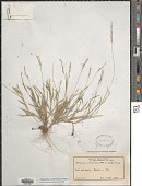 view Moorochloa eruciformis (Sm.) Veldkamp digital asset number 1