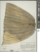 view Cephalostachyum virgatum (Munro) Kurz digital asset number 1