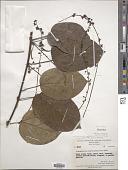 view Tinomiscium petiolare Hook. f. & Thoms. digital asset number 1