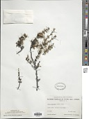 view Larix laricina (Du Roi) K. Koch digital asset number 1
