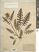 view Pedicularis canadensis L. digital asset number 1