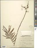 view Calliandra acapulcensis (Britton) Standl. digital asset number 1