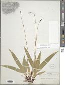 view Carex plantaginea digital asset number 1