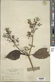 view Sambucus javanica Blume digital asset number 1