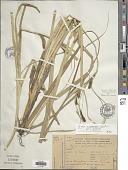 view Carex chilensis Brongn. digital asset number 1
