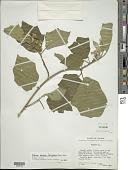 view Solanum ochraceo-ferrugineum (Dunal) Fernald digital asset number 1