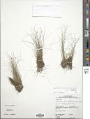 view Eleocharis subfoliata C.B. Clarke digital asset number 1