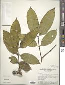 view Strychnos erichsonii M.R. Schomb. & Progel ex digital asset number 1