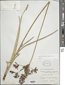 view Fimbristylis aspera (Schrad.) Boeckeler digital asset number 1