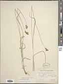 view Carex praticola digital asset number 1