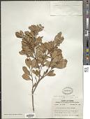 view Lyonia fruticosa (Michx.) G.S. Torr. ex B.L. Rob. digital asset number 1