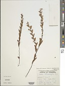 view Chamaecrista desvauxii var. piptostegia H.S. Irwin & Barneby digital asset number 1