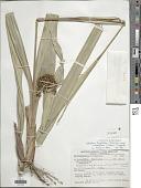 view Hypolytrum longifolium subsp. nicaraguense (Liebm.) T. Koyama digital asset number 1
