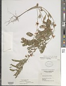 view Chamaecrista fasciculata (Michx.) Greene digital asset number 1