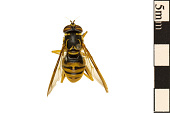 view Hoverfly, Hoverfly digital asset number 1