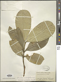 view Garcinia subelliptica Merr. digital asset number 1