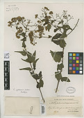 view Eupatorium gibbosum Urb. digital asset number 1