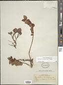 view Gaultheria glomerata (Cav.) Sleumer digital asset number 1