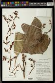 view Macaranga velutiniflora S.J. Davies digital asset number 1