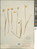 view Calochortus apiculatus Baker digital asset number 1