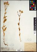 view Vaccaria vulgaris Host digital asset number 1