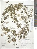 view Tropaeolum smithii DC. digital asset number 1