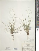 view Carex umbellata Willd. digital asset number 1
