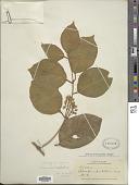 view Mascagnia sepium (A. Juss.) Griseb. digital asset number 1