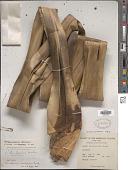 view Pandanus pulposus (Warb.) Martelli digital asset number 1