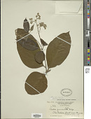 view Cordia sericicalyx A. DC. in DC. digital asset number 1