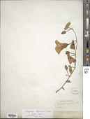 view Calystegia sepium (L.) R. Br. digital asset number 1