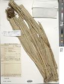 view Mapania macrocephala (Gaudich.) K. Schum. digital asset number 1