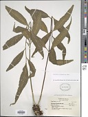 view Asplenium oligophyllum Kaulf. digital asset number 1
