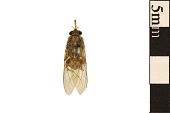 view Tsetse Fly digital asset number 1