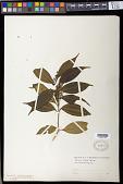 view Miconia tristis subsp. tristis digital asset number 1